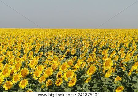 Sunflower Field Landscape. The Field Of Blooming Sunflowers. Sunflower Natural Background.