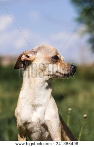 Russian Smooth-coated Toy Terrier In Profile (canis Lupus Familiaris)