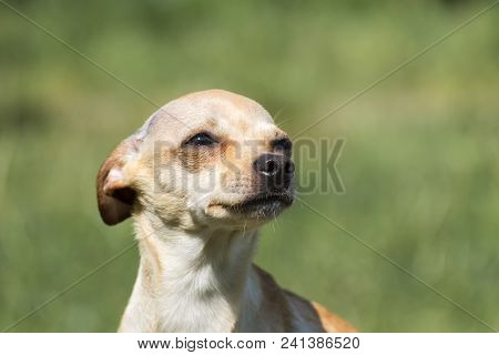 Russian Smooth-coated Toy Terrier Pressed His Ears And Looked Up (canis Lupus Familiaris)