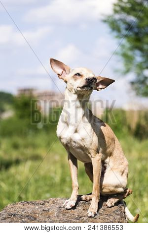 Russian Smooth-coated Toy Terrier Set His Ears Apart, Sitting On A Stone (canis Lupus Familiaris)
