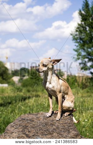 Russian Smooth-coated Toy Terrier Sits Proudly On A Rock (canis Lupus Familiaris)