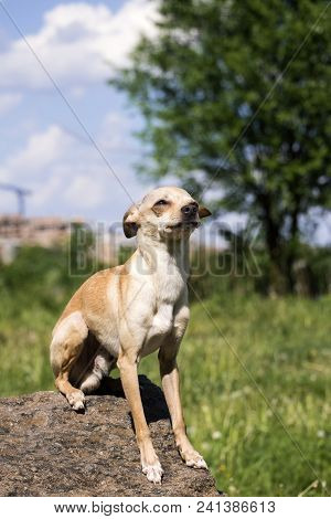 Russian Smooth-coated Toy Terrier Sits On A Stone In Proud Solitude (canis Lupus Familiaris)