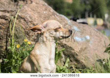 Russian Smooth-coated Toy Terrier Takes A Sunbath (canis Lupus Familiaris)