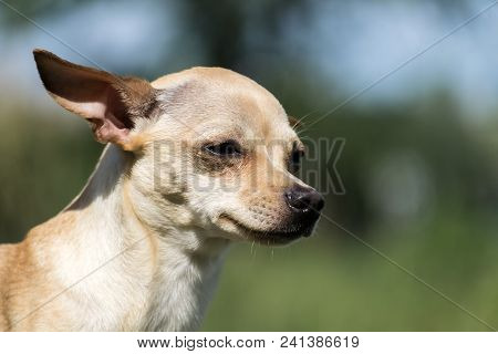 Russian Smooth-coated Toy Terrier Thought About The Meaning Of Being (canis Lupus Familiaris)