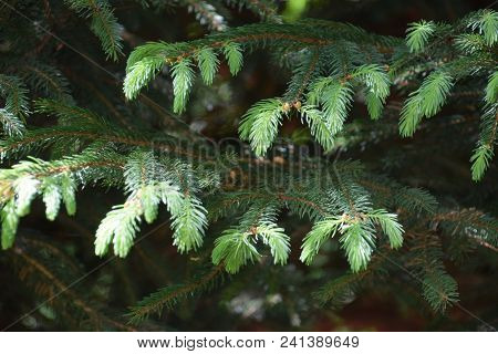 Branches Of A Conifer With New Sprouts In Spring