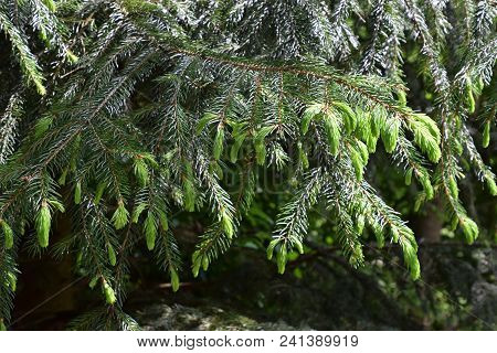 New Sprouts Of Fir At A Botanical Garden In Bavaria