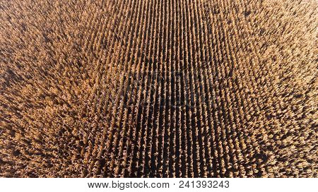 Aerial Drone View From Above Of Corn Field After Harvest