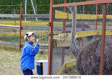 7 Year Old Boy Admires The Large African Ostriches In The Cage. Carefully Holds Out His Treat-carrot