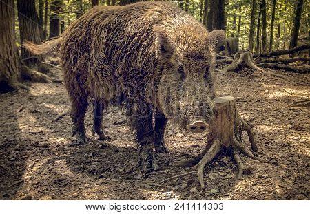 Wild Boar, Sus Scrofa, In Natural Environment. Portrait, Looking In Lens