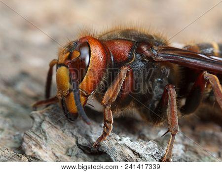 Macro Side Low Angel View Of Giant Hornet (vespa Crabro)