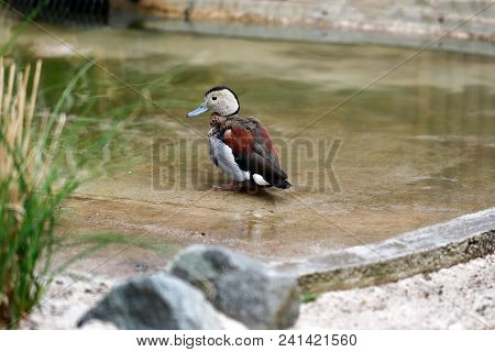 Full Body Of Male Ringed Teal Duck On The Pond. Photography Of Wildlife.