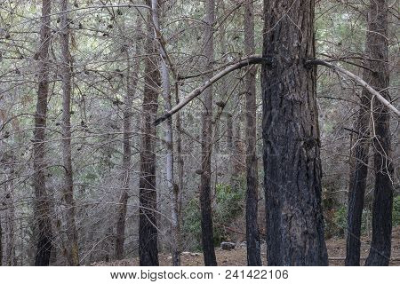 A Pine Forest After A Fire, With Visible Burn Marks On Trees