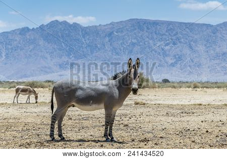 Somali Wild Donkey (equus Africanus). This Species Is Extremely Rare Both In Nature And In Captivity