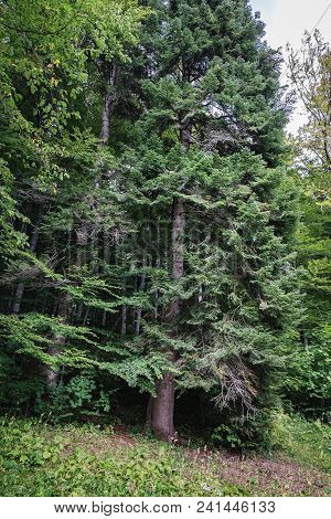 Forest Background With Spruce Trees. Hills Covered With Coniferous Dense Forest In Romania. Distant