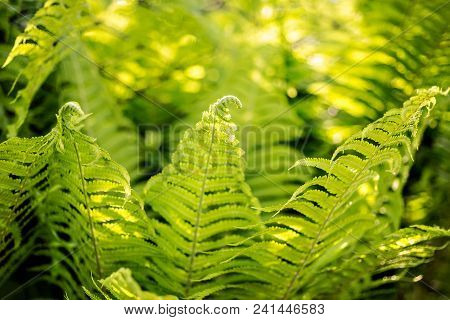Beautiful Fern Leaves With Fiddleheads Green Foliage Natural Floral Fern Bush Background In Sunlight