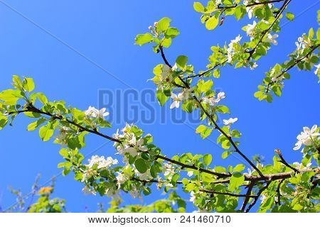 Apple flowers on sky background. Apple trees bloom against the sky.  Apple tree blooms in the sun. Blooming Apple trees. White flowers Apple trees bloom. White blooming Apple tree. Twig of Apple tree with white flowers. Apple blossom. Summer background