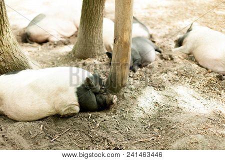 Pigs On The Farm. Happy Pigs On Pig Farm Resting Under Sunlight.