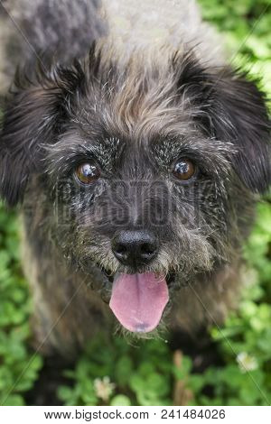 Mutt At A Park Photoshoot. Black Dog, Green Grass. Tongue Out, Furry And Cute.