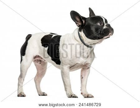 French bulldog looking up against white background