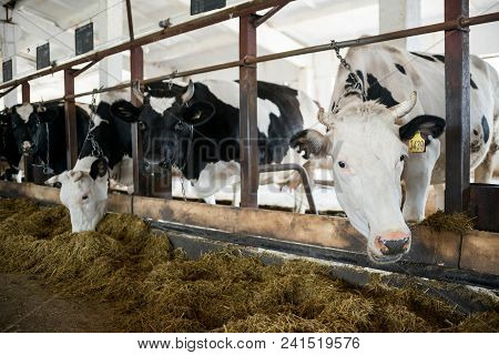 Black And White Cows Eating Hay In Cowshed On Dairy Farm. Agriculture Industry, Farming And Animal H