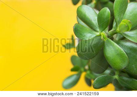Jade Plant Money Tree In White Pot On Bright Yellow Background. Sunlight. Fresh Vibrant Green Leaves