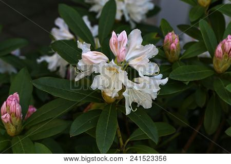 White Rhododendron Blossoms / Rhododendrons The Rhododendrons Are A Genus Of The Family Ericaceae