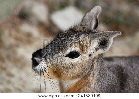 Portrait Close-up Of Patagonian Cavy Mara (dolichotis Mammal).