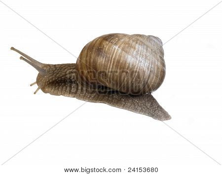 studio photography of a grapevine snail seen from behind in white back poster