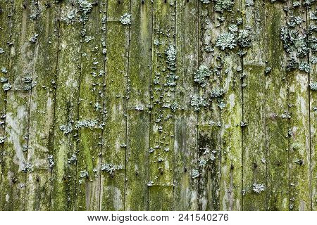 Lichen On An Old Bamboo Fence. Wooden Background.