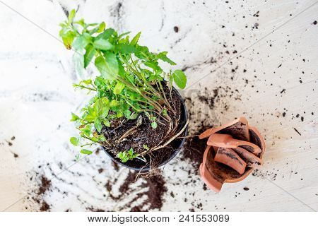 Broken Clay Flower Pot  With Green Plants On Woden Background. Damage Concept. Flat Lay