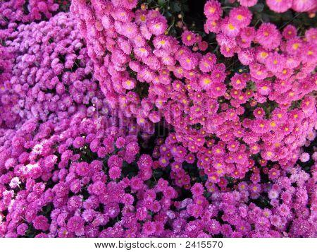 Pinkish Blossom