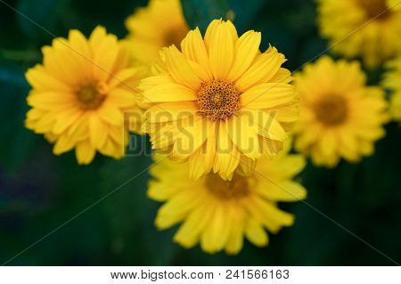 The Close Up Of Yellow Daisy Flower