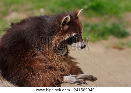 Close-up Full Body Of Sitting Common Raccoon On The Tree Truk. Photography Of Wildlife.