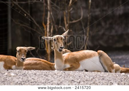 two funny blackbucks lying on the ground poster