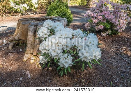 Landscape Shot Of White Nd Pink Rhododendron Flowers.