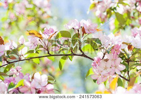 Tender Spring Floral Nature Garden Landscape. Blossoming Fruit Tree Branch, Pink Petal Flowers Fresh