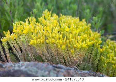 Medical Herb Sedum Acre, Goldmoss Mossy Stonecrop. Yellow Flowers Tufted Perennial Plant In The Fami