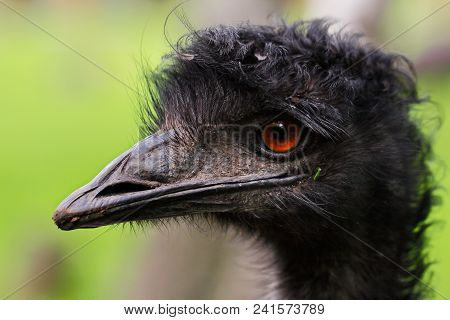 Australian Emu (dromaius Novaehollandiae), View Of An Emu's Head