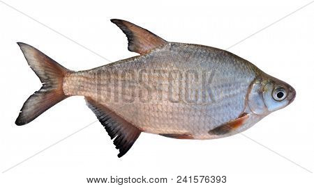 Live silver bream isolated on white background with detailed accurate clipping path