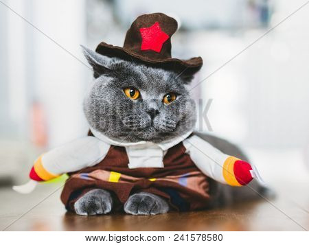 Purebred cat wearing a funny costume, lying on the table. British shorthair. Halloween and carnival.