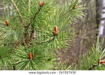 Branches Of Spring Coniferous Tree With Sprouts And Water Drops