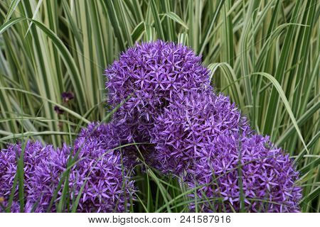 Purple Allium Cristophii, Persian Onion Or Star Of Persia
