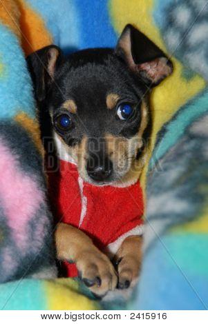 Mini Pinscher Puppy