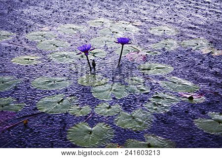 Lotus Flower, Symbol Of Tranquility And Serenity. Royal Victory Flower, Common In Amazonian Lakes An