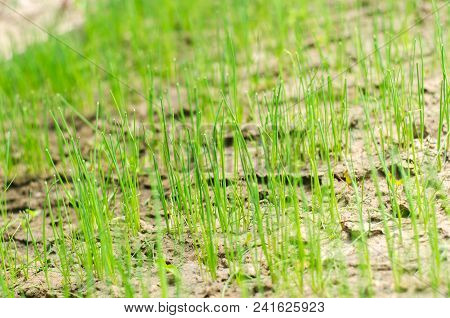 Young Shoots Of Onions. Green Long Shoots Of Onion Leaves, Growing Vegetables In The Field. A Farm F