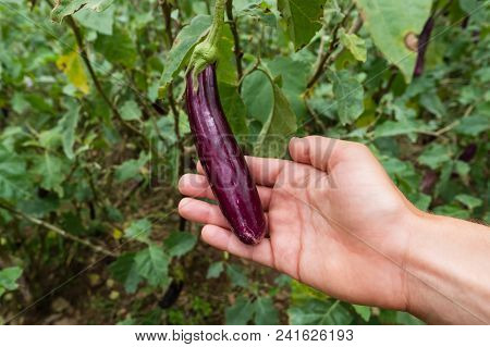 Closeup Of A Graffiti Eggplant, A Purple And White Striped Ripening Eggplant Vegetable Growing On A