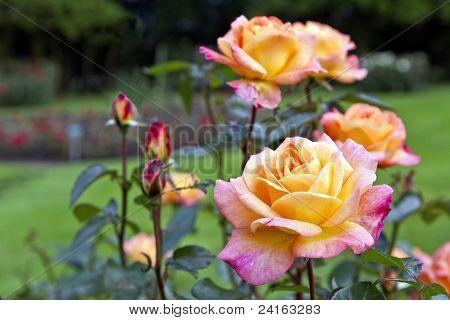 Bellevue roses