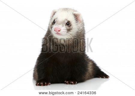 Ferret On White Background