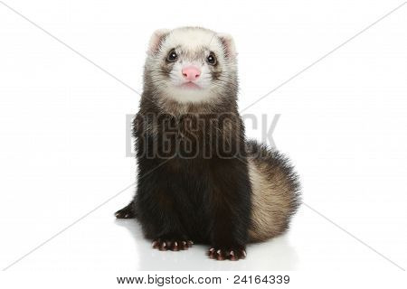 Ferret puppy sits on a white background poster