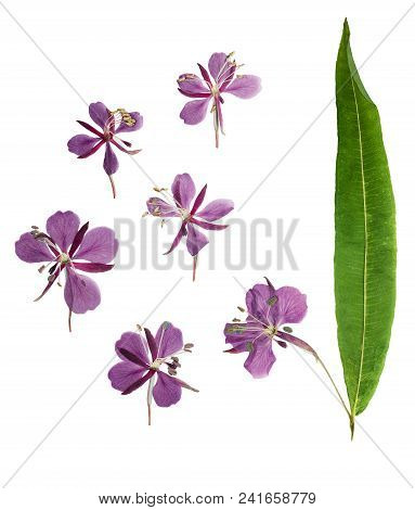 Pressed And Dried Delicate Purple Flowers Willow-herb (epilobium), Isolated On White Background. For